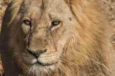 13.Male-lion-client-blog-south-africa-safari-yellow-zebra-safaris.jpg