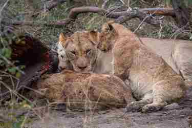 15.Lions-with-carcass-client-blog-south-africa-safari-yellow-zebra-safaris.jpg