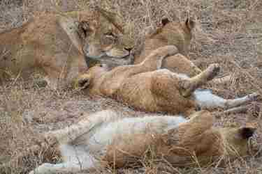 16.Meat-drunk-lions-client-blog-south-africa-safari-yellow-zebra-safaris.jpg