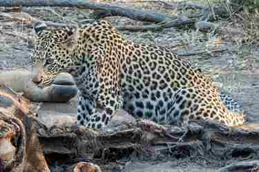 17.Leopard-client-blog-south-africa-safari-yellow-zebra-safaris.jpg