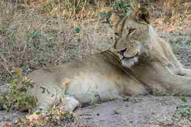 19.Lion-lying-down-client-blog-south-africa-safari-yellow-zebra-safaris.jpg