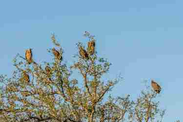 20.Vultures-in-tree-client-blog-south-africa-safari-yellow-zebra-safaris.jpg