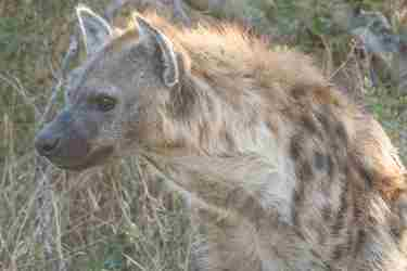 21.Single-hyena-client-blog-south-africa-safari-yellow-zebra-safaris.jpg