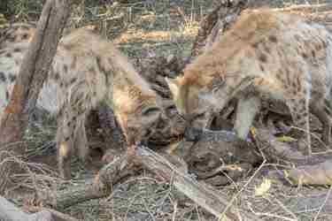 22.Hyena-group-client-blog-south-africa-safari-yellow-zebra-safaris.jpg
