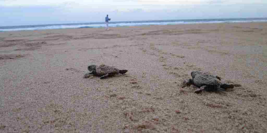 2. February in Mozambique baby turtles