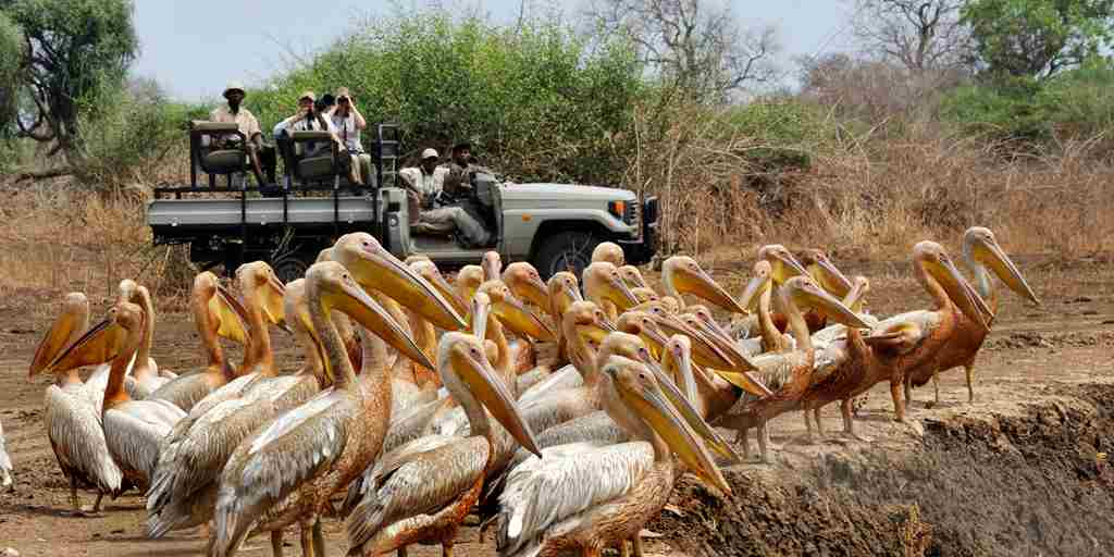 7. July in Zambia tafika camp game drive pelicans zambia yellow zebra safaris