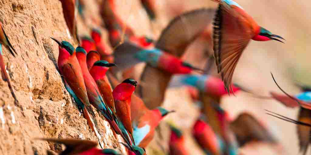 10. October in Zambia carmine bee eaters