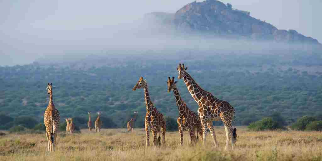 karisia-walking-safaris-giraffe-yellow-zebra-safaris.jpg