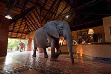 mfuwe lodge elephant zambia yellow zebra safaris