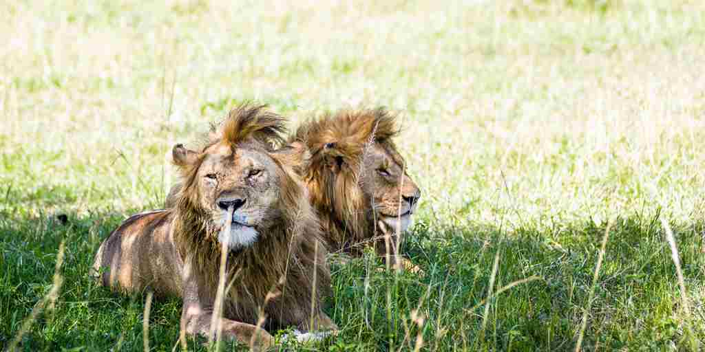 singita-sabora-tented-camp-lions-tanzania-yellow-zebra-safaris.jpg