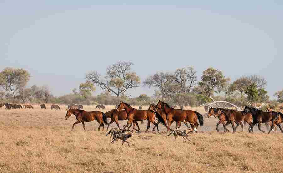 okavango horse safaris dogs botswana yellow zebra safaris