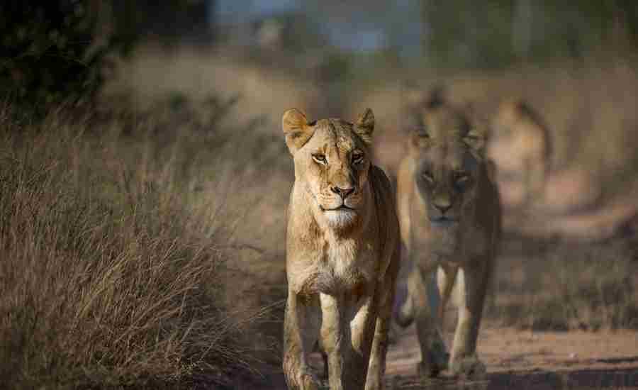 best places to see lion africa yellow zebra safaris