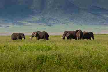 ngorongoro crater top places to see elephants in africa yellow zebra safaris
