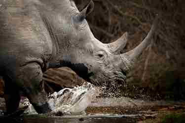 best places to rhino africa yellow zebra safaris