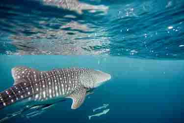 swimming with whale shark africa yellow zebra safaris