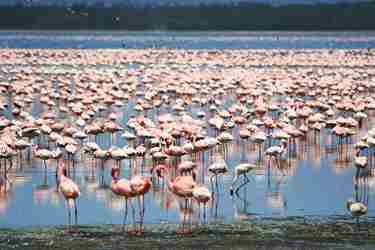 Flamingos view birdlife in Kenya with Yellow Zebra