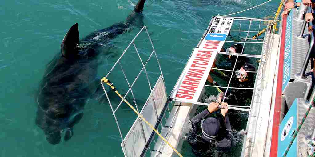 The Royal Portfolio birkenhead House Great White   Shark Cage Diving 3