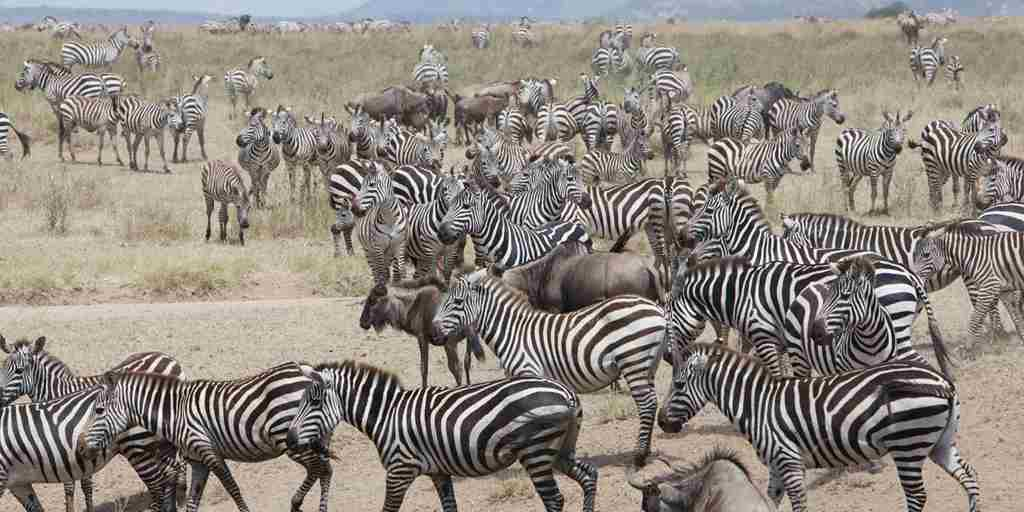 Zebra-migration-Serengeti-safari.jpg